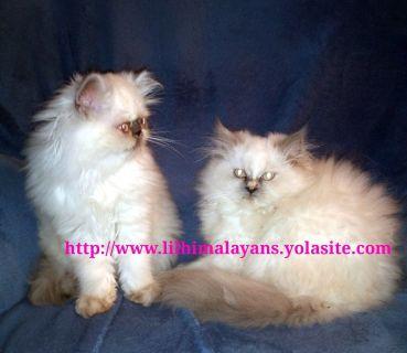 Himalayan kittens cfa coming
