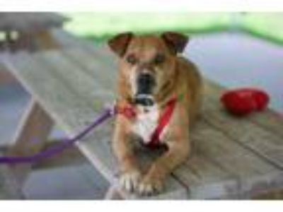 Adopt Dunkin' the Red a Staffordshire Bull Terrier