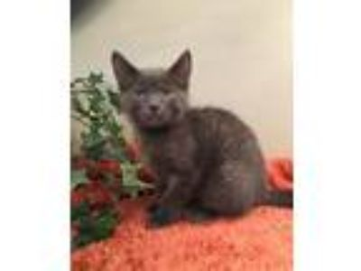 Adopt Sterling a Gray or Blue Domestic Shorthair / Mixed (short coat) cat in