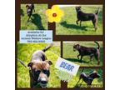 Adopt Bear a American Staffordshire Terrier, Boxer