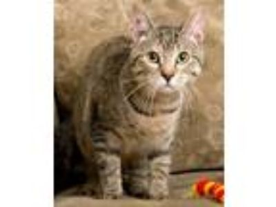 Adopt Tuula a Brown Tabby Domestic Shorthair (short coat) cat in Frankfort