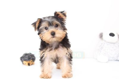 Yorkshire Terrier PUPPY FOR SALE ADN-54365 - George AKC Male Yorkie Puppy