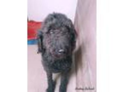 Adopt Beau a Black Labradoodle / Mixed dog in Lafayette, CO (25297536)