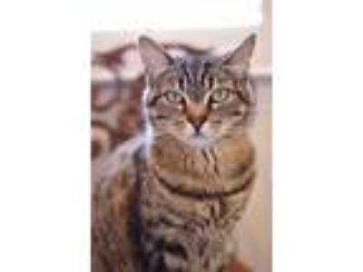 Adopt Ava - Bengal Tabby a Domestic Short Hair, Bengal