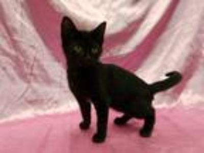 Adopt Remy a Black (Mostly) Domestic Shorthair (short coat) cat in Redwood