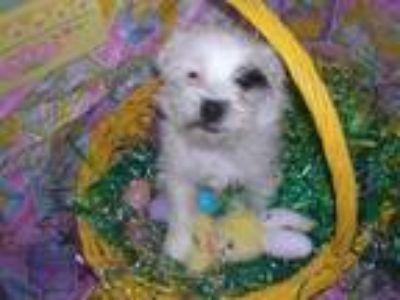 Adopt Samantha a Terrier