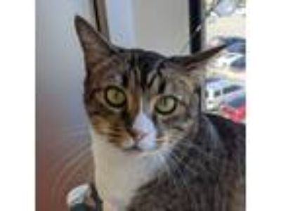 Adopt Tilapia a Brown Tabby Domestic Shorthair / Mixed (short coat) cat in