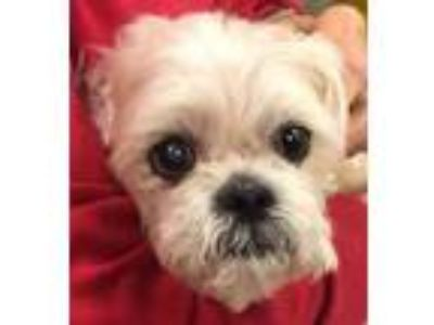 Adopt Teddy a Tan/Yellow/Fawn Shih Tzu / Mixed dog in Coos Bay, OR (25656362)