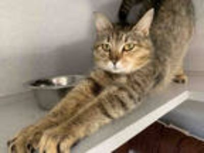 Adopt BERRIES a Brown Tabby Domestic Shorthair / Mixed (short coat) cat in