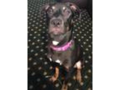 Adopt Blanche a Black - with Tan, Yellow or Fawn Labrador Retriever dog in
