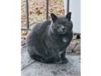 Adopt Grayberry a Domestic Short Hair