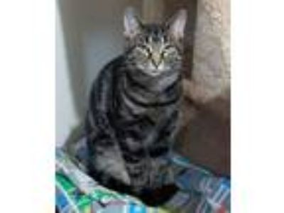 Adopt Keller a Domestic Short Hair, Tiger