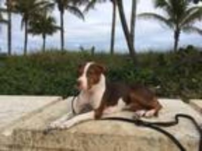 Adopt Princess a Brown/Chocolate - with White Hound (Unknown Type) / American