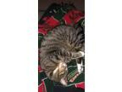 Adopt Charlie a Tiger Striped Domestic Shorthair / Mixed cat in Princeton