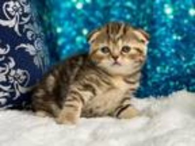 Purebred Scottish Fold And Scottish Straight Kitte
