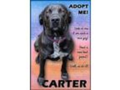 Adopt Carter a Labrador Retriever / Mixed dog in Charlottesville, VA (25591316)