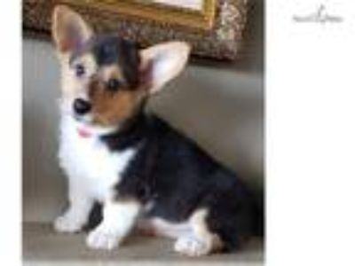 Pembroke Welsh Corgi Puppy! microchipped