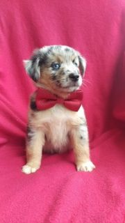 Australian Shepherd PUPPY FOR SALE ADN-95503 - Your Next Family Member is Here