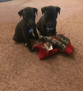 Whippet PUPPY FOR SALE ADN-86721 - Beautiful English bred whippet pups