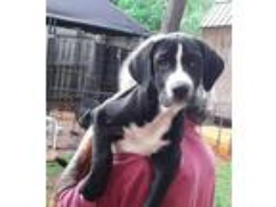 Adopt JJ a Black - with White Boxer / Labrador Retriever / Mixed dog in Macon