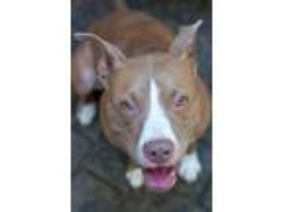 Adopt Sasha a Red/Golden/Orange/Chestnut - with White American Pit Bull Terrier