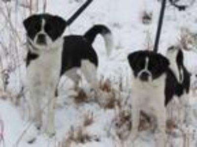 Adopt Bella and Bo a Pug