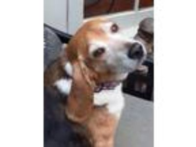 Adopt Jolly a Tricolor (Tan/Brown & Black & White) Beagle / Mixed dog in Winder