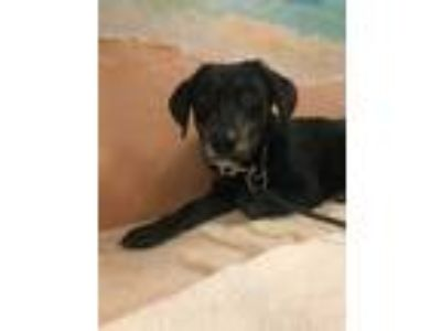 Adopt HERMIA a Black Shepherd (Unknown Type) / Hound (Unknown Type) / Mixed dog
