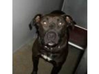 Adopt Baxter a Black American Pit Bull Terrier / Flat-Coated Retriever / Mixed