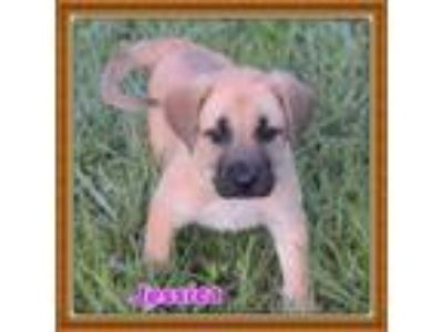 Adopt Jessica a Tricolor (Tan/Brown & Black & White) Great Pyrenees / Shepherd