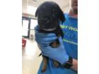 Adopt ADOPTED-Puppy 4 a Black German Shepherd Dog / Mixed dog in Fort Worth