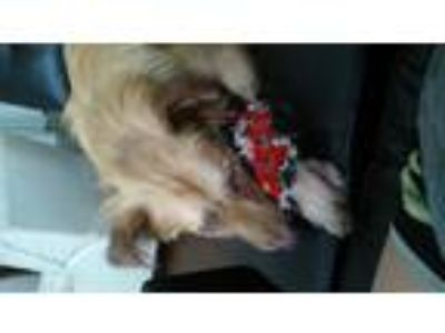 Adopt Duke a Red/Golden/Orange/Chestnut Border Collie / Golden Retriever / Mixed