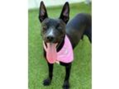 Adopt Mia a Black American Pit Bull Terrier / Mixed dog in Jacksonville