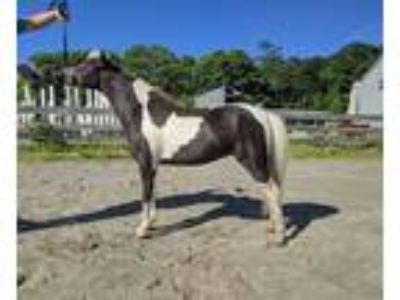 Triple Registered Miniature Mare