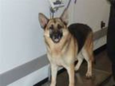 Adopt Db-10d Kirby a German Shepherd Dog