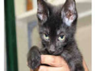 Adopt SALEM a All Black Domestic Shorthair / Mixed (short coat) cat in Chicago