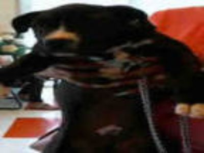 Adopt BAGHEERA a Black - with White American Pit Bull Terrier / Mixed dog in