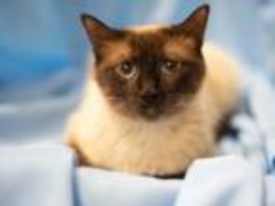 Adopt Dany a Cream or Ivory (Mostly) Siamese / Mixed (short coat) cat in