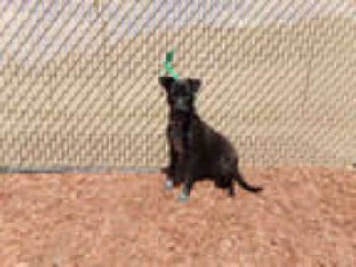 Adopt BABY GIRL a Black - with White Labrador Retriever / Mixed dog in Norco