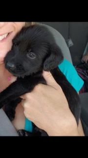 Labrador Retriever-Wirehaired Pointing Griffon Mix PUPPY FOR SALE ADN-96556 - Labrador x Wirehaired Pointin5g Griffon Puppies