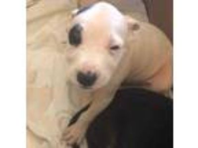 Adopt Agnes a White Terrier (Unknown Type, Small) / Mixed dog in Lihue