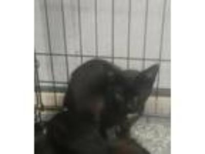 Adopt Hubert a Domestic Short Hair
