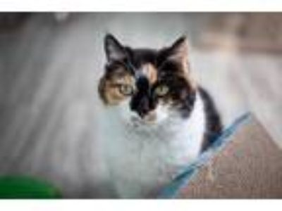 Adopt Scruffy a White Domestic Shorthair / Domestic Shorthair / Mixed cat in