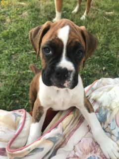 Boxer PUPPY FOR SALE ADN-78925 - AKC Registered Boxer Puppy