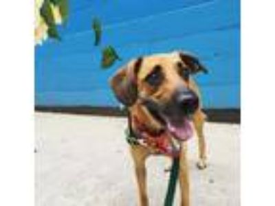 Adopt Tanner a Tan/Yellow/Fawn Mixed Breed (Large) / Mixed dog in Fort Wayne