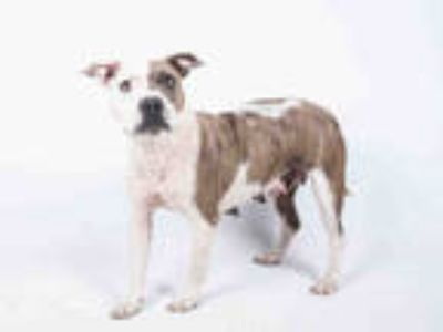 Adopt LANA a White - with Brown or Chocolate American Pit Bull Terrier / Mixed