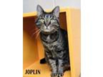 Adopt Joplin a All Black Domestic Shorthair / Domestic Shorthair / Mixed cat in