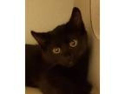 Adopt Donnie Wahlberg a All Black Domestic Shorthair (short coat) cat in