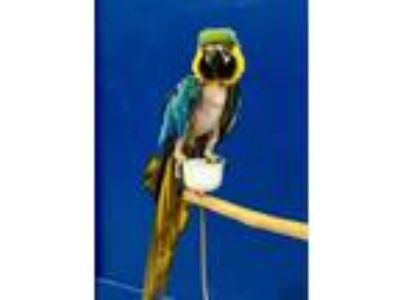 Adopt Mikey (Michael) B&G a Macaw