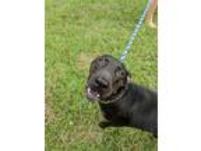 Adopt Marin a Black Labrador Retriever / Doberman Pinscher / Mixed dog in